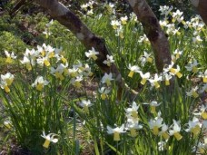 Spring daffodils, The Grarden House, Devon
