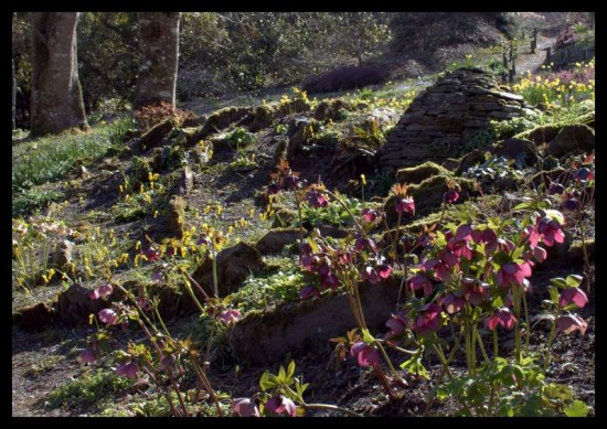 Spring flowers, hellebores and cairn, The Garden House, Devon
