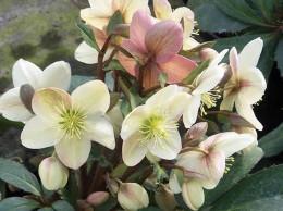 helleborus x ericsmithii Plant of the Month Sophie Dixon Landscape Design